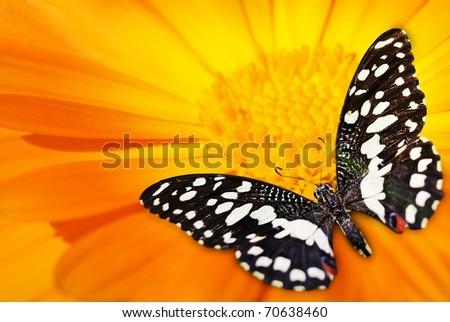 Butterfly sleeping on an orange flower - stock photo