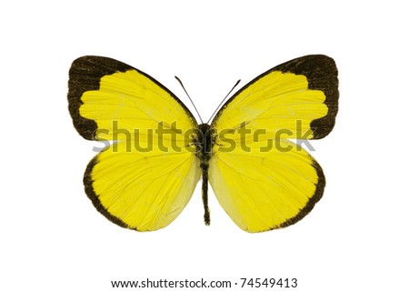 Butterfly, Small Grass-yellow, Eurema smilax, dry-season form, wingspan 30mm - stock photo