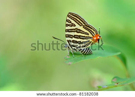 Butterfly (Small Long-banded Silverline) , Thailand