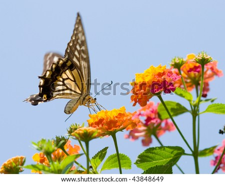 Butterfly 57th, Colorful swallowtail butterfly flying and feeding under blue sky - stock photo