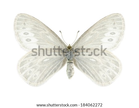 Butterfly Triphysa phryne (female) on a white background - stock photo