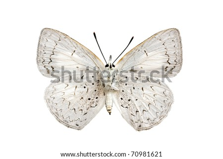 Butterfly underside, Common Pencil Blue, Candalides absimilis, female, wingspan 31mm - stock photo