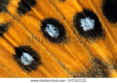 Butterfly wing, Painted Lady, Vanessa Kershawi - stock photo