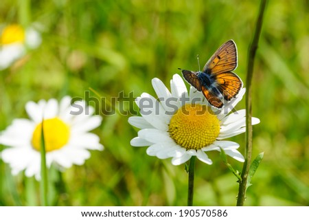 Butterfly with marguerites - stock photo