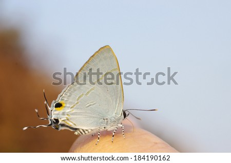 butterfly with posterior headed mimic on the human finger  - stock photo
