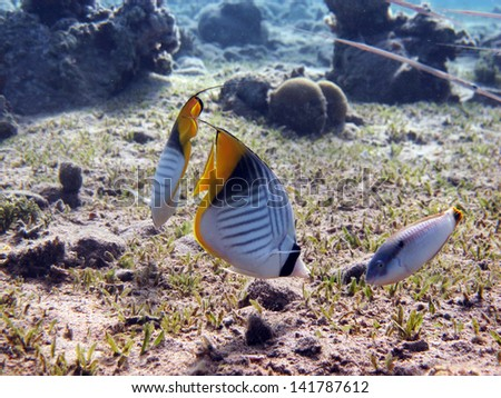 Butterflyfish couple - stock photo