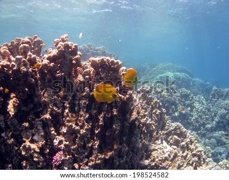 Butterflyfish couple and coral reef