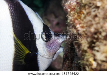 butterflyfish eat the damselfish spawn