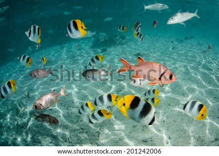 Butterflyfish, goatfish, soldierfish, and other species of brightly colored reef fish swim in a shallow lagoon in French Polynesia. - stock photo