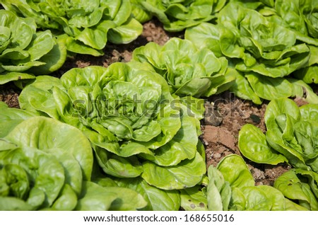 Butterhead Lettuce, Organic garden - stock photo
