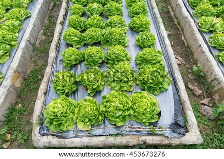 Butterhead Lettuce salad plant, hydroponic vegetable leaves - stock photo