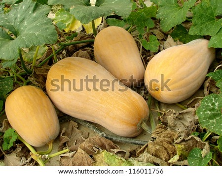 butternut squashes growing on vine - stock photo