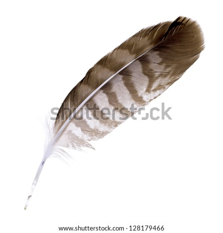Buzzard feather isolated on white background. Space for your text
