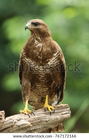 Buzzard posing on a branch in the Netherlands