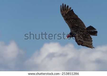 buzzard red head portrait while flying ont cloudy sky - stock photo