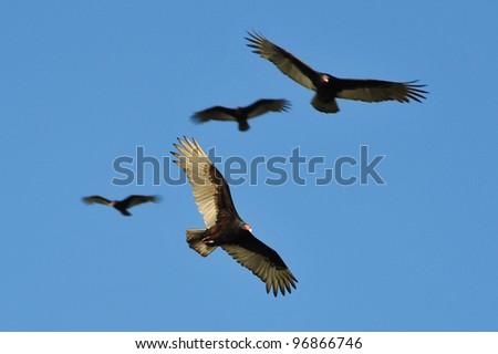 buzzards in Florida - stock photo