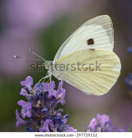 Cabbage butterfly drinking from lavender - stock photo