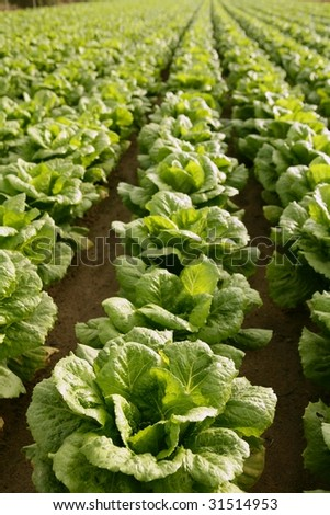 Cabbage fields in Spain, rows of vegetable food - stock photo