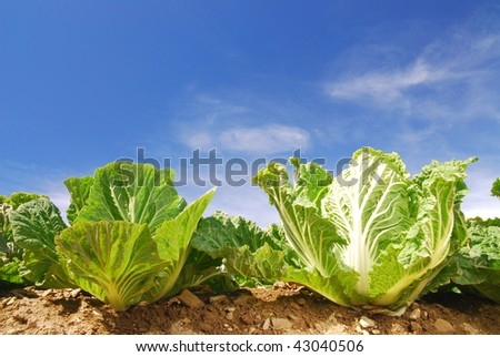 cabbage,green vegetable ripe on the farm. - stock photo
