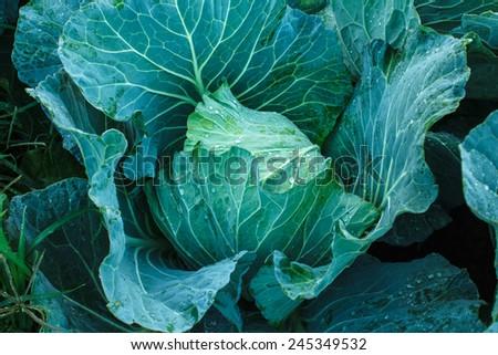 Cabbage grow in home vegetable garden. - stock photo