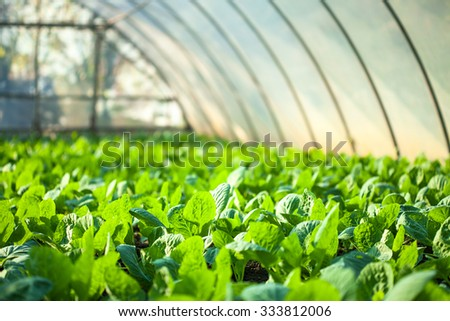 Cabbage growing in greenhouse