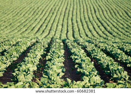 Cabbage growing on a field - stock photo