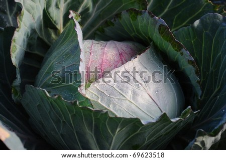Cabbage in the field, in the North of Thailand.