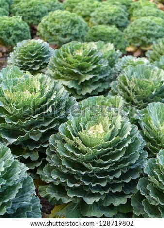 cabbage in the garden - stock photo