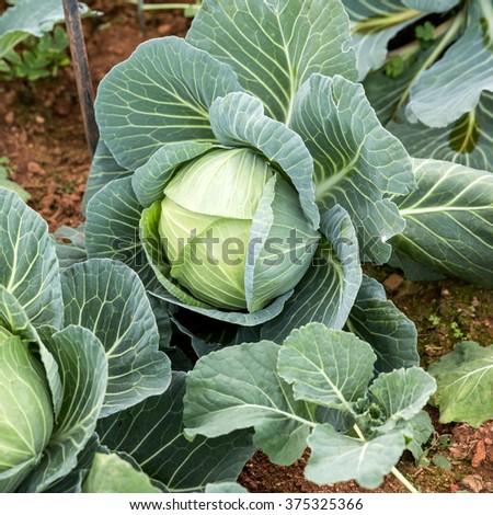 cabbage in the garden,fresh kitchen garden cabbage - stock photo