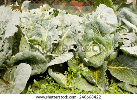 Cabbage leaves eaten by caterpillars, fresh vegetables grow in private field in Poland, Europe, horizontal orientation, nobody.  - stock photo