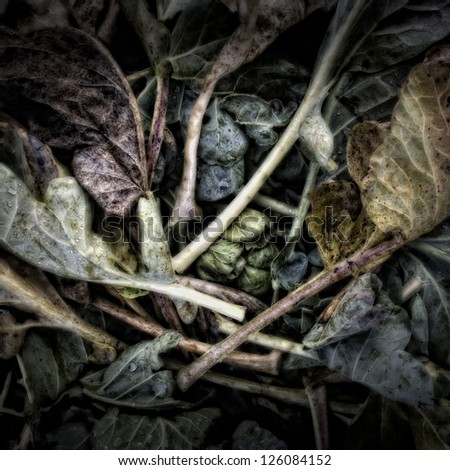 Cabbage leaves on a Compost Heap/Artistically alienated to create a grungy somber atmosphere. - stock photo