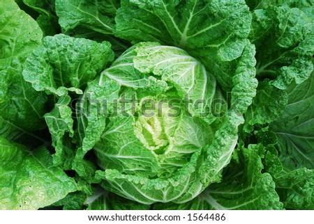 Cabbage - Montreal Botanical Gardens - stock photo