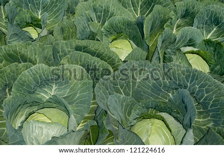 Cabbage Patch:  A cabbage crop nearly ready for harvest grows on a farm in southern Wisconsin. - stock photo