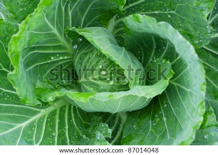 Cabbage photo