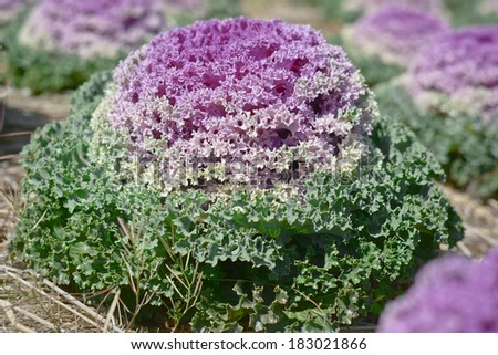 Cabbage  plant leaves - stock photo