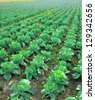 Cabbage plantation - stock photo