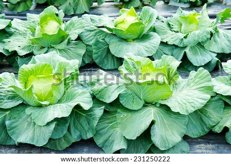 cabbage plants fresh from the garden - stock photo