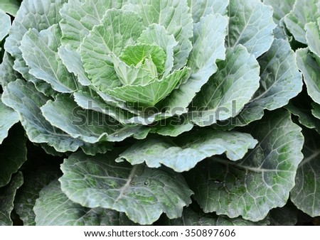 Cabbage texture