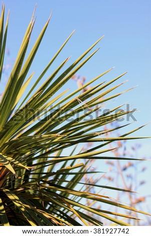 Cabbage Tree - stock photo