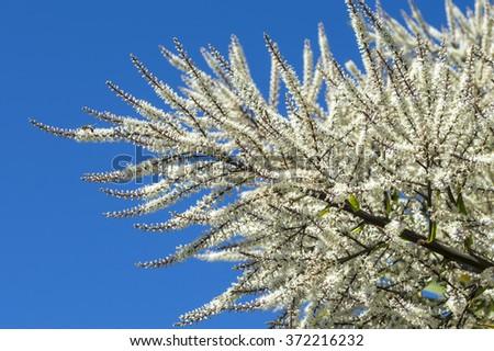 Cabbage tree (Cordyline australis) in bloom - stock photo