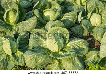 cabbage vegetable in field   - stock photo
