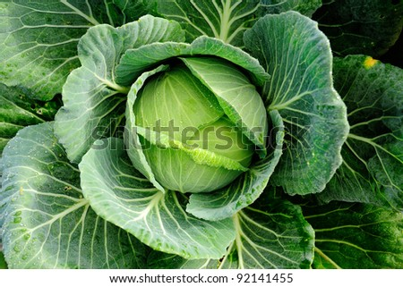cabbage vegetable in field background - stock photo