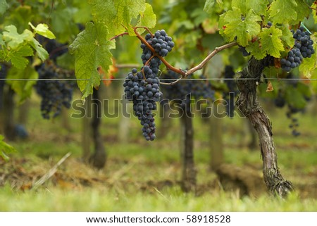 Cabernet Sauvignon in Saint Emilion - stock photo