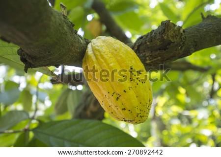 Cacao tree - stock photo