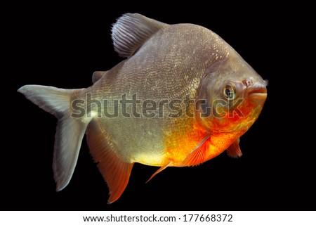Cachama or Tambaqui fish pofile isolated on black, studio aquarium shot. - stock photo
