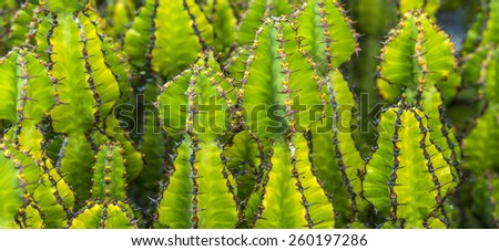 cacti growing in the field in Lanzarote - stock photo