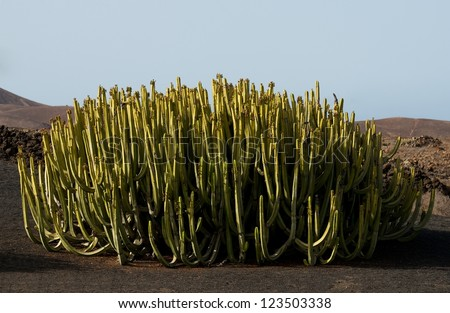 Cactus bush. A lot of green fresh cactus with mountains and hills background. Wild cactus.
