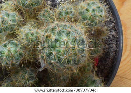 Cactus. Cactus,Cactus thorn,Close up of globe shaped cactus with long thorns-Focus thorns. - stock photo