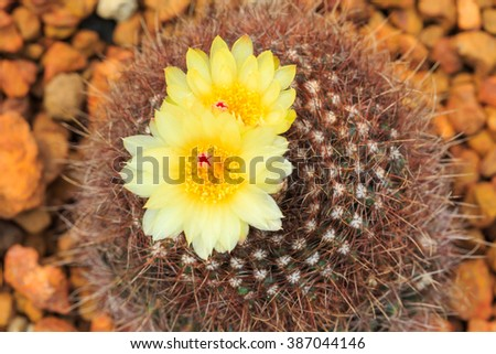 Cactus,Cactus thorn,Close up of globe shaped cactus with long thorns-Focus thorns - stock photo