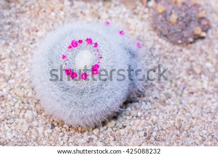 Cactus Close up of globe shaped cactus with long thorns. (Mammillaria hahniana Werderm). - stock photo